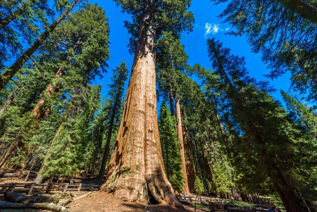 Riesenmammutbaum (Sequoiadendron giganteum)